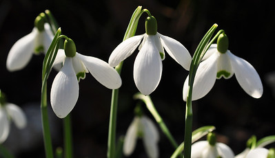 Galanthus 'Sam Arnott'  Flowering period : february-march  height : 15-20 cm's