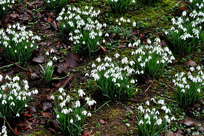 clumps of galanthus 'Sam Arnott' growing in evenley wood garden, Northamptonshire, UK