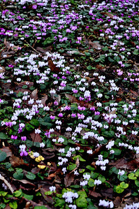 A group of cyclamen coum growing in Evenley woodland garden in northamptonshire, UK