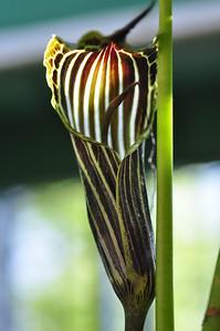 Arisaema proquinquum