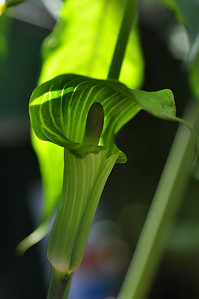 Arisaema sp China
