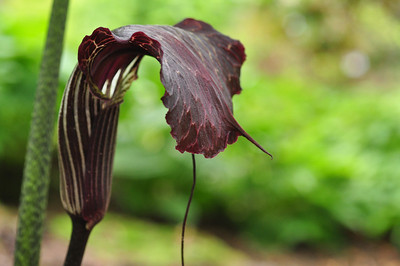 Arisaema utile black form