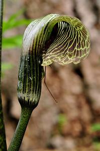 Arisaema grifithii