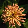 garden_zinnias-14