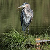 Ruffled Great Blue Heron