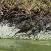 Sneaking Green Heron