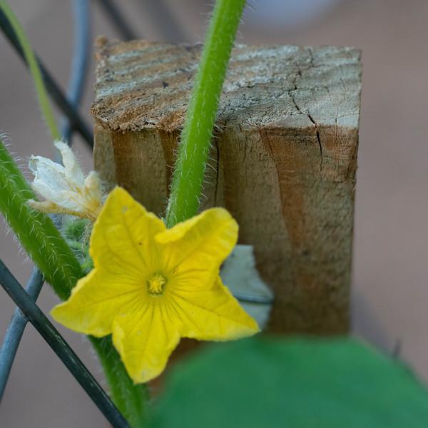 Cucumber blossom