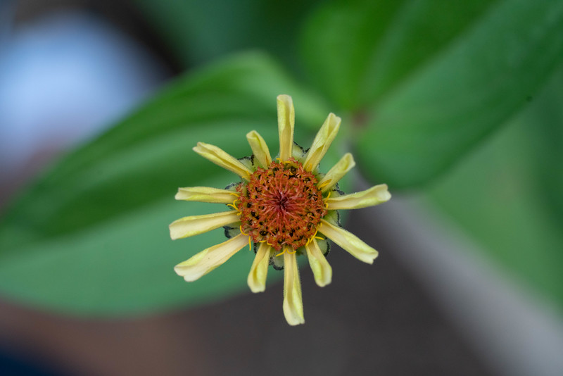 Second zinnia