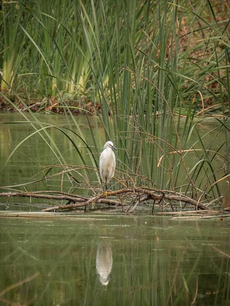 Egret in repose