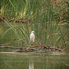 Egret in repose