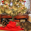 Paddy, about to pounce on Naneko, under the tree.