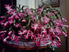 My Christmas cactus at the peak of its bloom. It's huge -- over two feet wide, so it's really spectactular<br /> <br /> 11-15-11