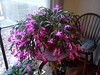Christmas cactus, still in full bloom<br /> <br /> 11-19-11