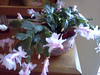 The flowers on the small Christmas cactus are very delicate pale pink.<br /> <br /> 11-9-11