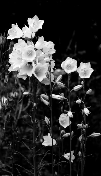 White and Black<br /> Flowers in the backyard