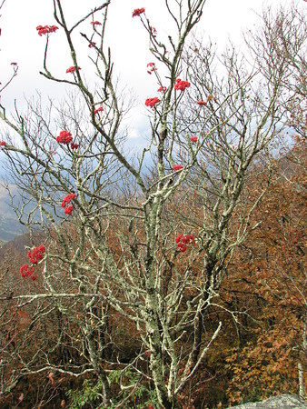 BERRY BUSH<br /> This delicate bush is bedazzled with berries and sits atop Craggy Gardens overlooking the Blue Ridge Mountains!