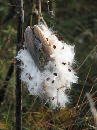 MILKWEED MAGIC<br /> Milkweed pods dot the autumn fields of Illinois State Beach. The pods begin to open and silk and seed await the cool breezes that will carry them off to new places!