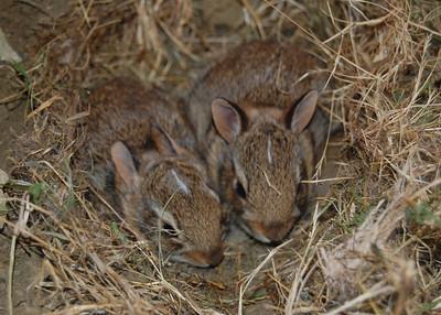 Baby Bunnies -- July 2010