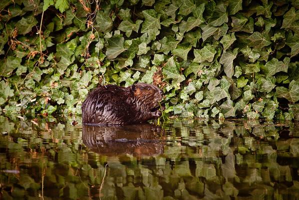 Beavers of Lake Union, April 2009