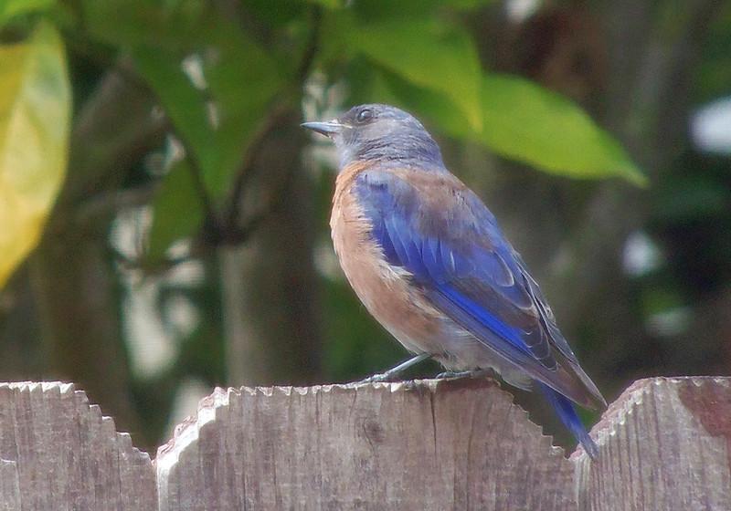 Bluebird juvenile