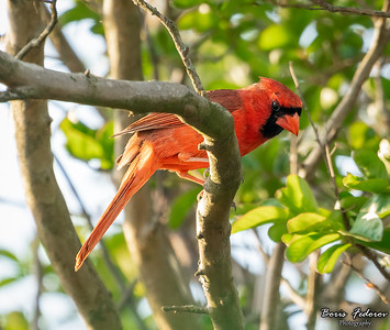 Nothern cardinal male