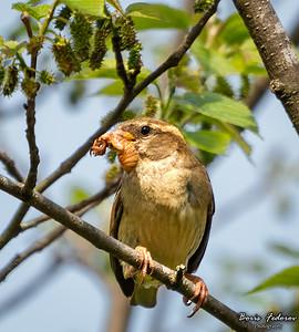 Female house sparrow with cicada