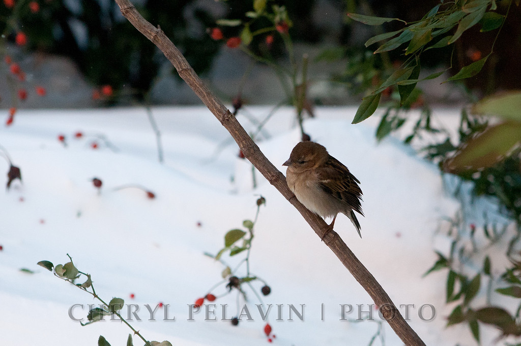English Sparrow in the Snow