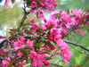 CRABTREE BLOSSOMS<br /> These deep pink blossoms seem to glow in the soft mid-May sun!