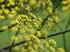 DILL-ISCIOUS<br /> These tiny golden Dill blooms sit on the ends of long stems like fireworks bursting out in every direction!