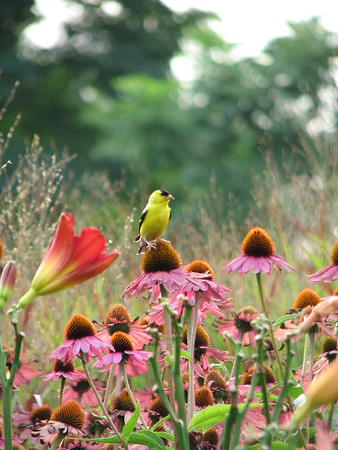 LURIE GARDENS<br /> Our Goldfinch stops for a moment to pose between his melodious songs in Lurie Gardens!