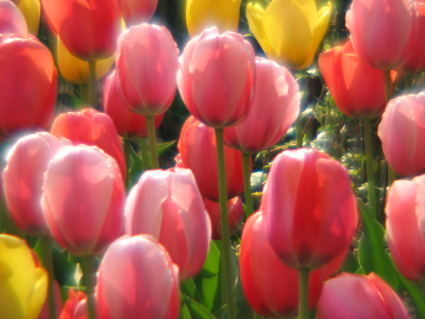 TULIP BOUQUET<br /> There is radiant beauty in this tulip bouquet!