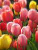 Tulip Chorus<br /> Tulips have a melody all their own!