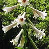 "Cardiocrinum Giganteum<br /> <br /> The fantastic ""giant himalayan lily"", which, in fact is not a lily at all, but a cardiocrinum, however, i have included it within the lilium section, to minimise the number of sub headings.<br /> <br />  It takes about 6-7 years from seed to flower, and then dies, leaving behind small offset bulbs, which in turn will flower after 4-5 years of good growth. When in full flower, in half shade in a humus rich soil, its stems can reach up to 2.5M tall! Its long fragrant trumpet flowers are huge 30 cm long trumpets.<br /> <br /> Superb potted specimens, ready to flower in about a years time.<br /> <br /> Very large specimens : 45 CHF <br /> <br /> Quantity Available : 5<br /> <br /> Slightly smaller bulbs, to flower in 2019<br /> <br /> Quantity available : 3<br /> <br /> Price : 35 CHF<br /> <br /> <br /> Please reserve plants before mid february 2018, so that i can get them to you before they start sprouting in late march.<br /> <br /> AVAILABLE POTTED UP AT PLANT SHOWS IN MIES AND COPPET EVERY YEAR AT MY STANDS"