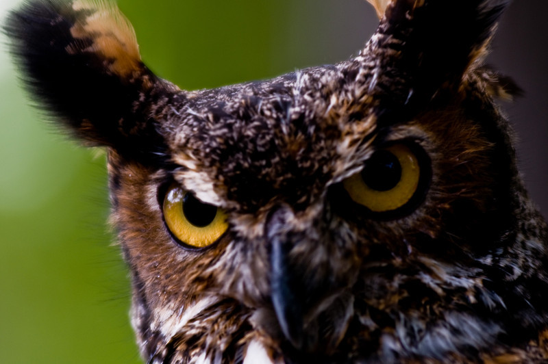 Title: Look Me in the Eyes<br /> Date: May 2010<br /> A rescued Great Horned Owl taken at Cheverly Day.