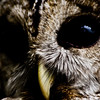 Title: Mysterious Gaze<br /> Date: May 2011<br /> An extreme close-up of a rescued Spotted Owl at Cheverly Day.