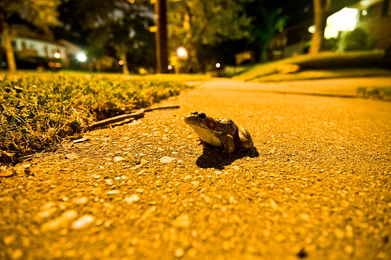 Title: Sights from the Mean Streets<br /> Date: July 2009<br /> A frog on the sidewalk along Valley Way.