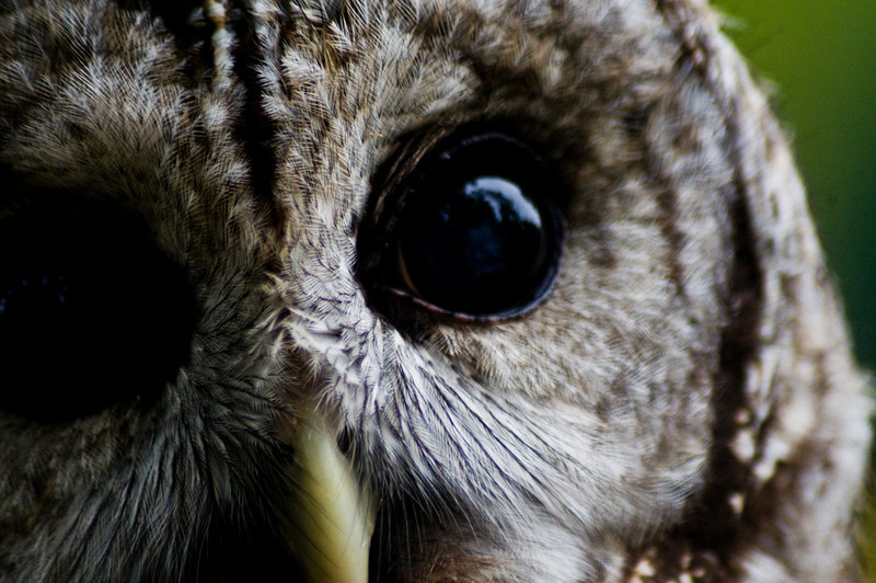 Title: Owl Eyes<br /> Date: May 2011<br /> An extreme close-up of a rescued Spotted Owl at Cheverly Day.