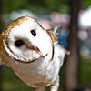Title: Barn Owl<br /> Date: May 2008