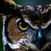 Title: The Look<br /> Date: May 2011<br /> A rescued Great Horned Owl at Cheverly Day.