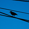 Title: Crossed Wires<br /> Date: April 2009<br /> A European Sterling stands on a power wire along Crest Avenue.