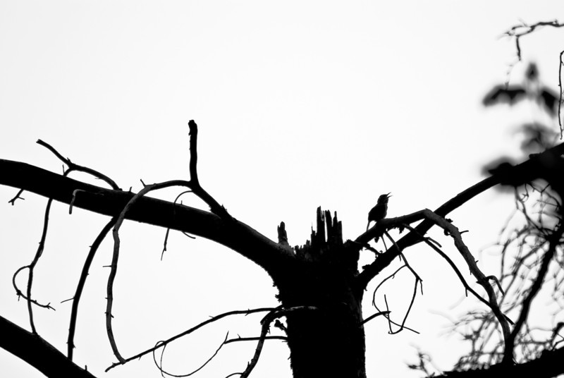 Title: Sing a Song<br /> Date: August 2008<br /> A small bird sings on a dead tree in Pool Park in Cheverly.