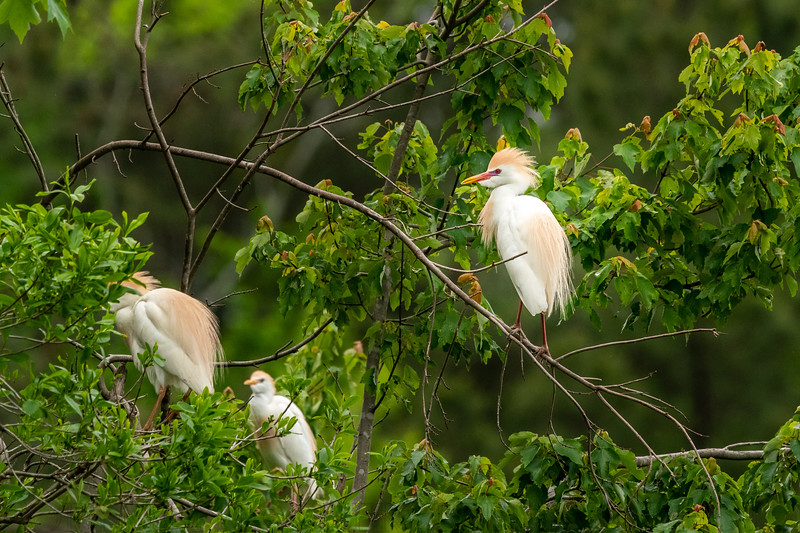 Breeding Cattle Egrets