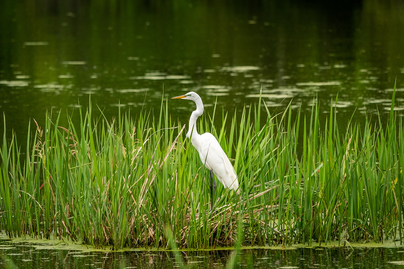 The Great Egret Waiting