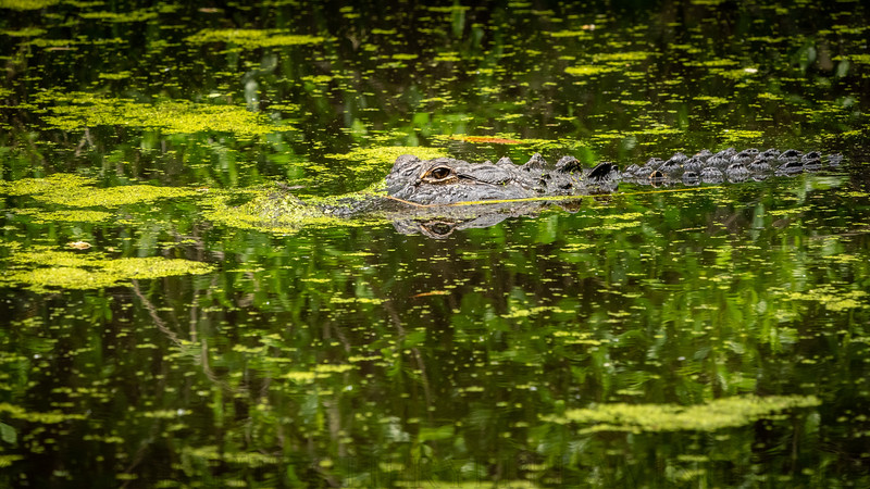 Alligator, Crooked Creek