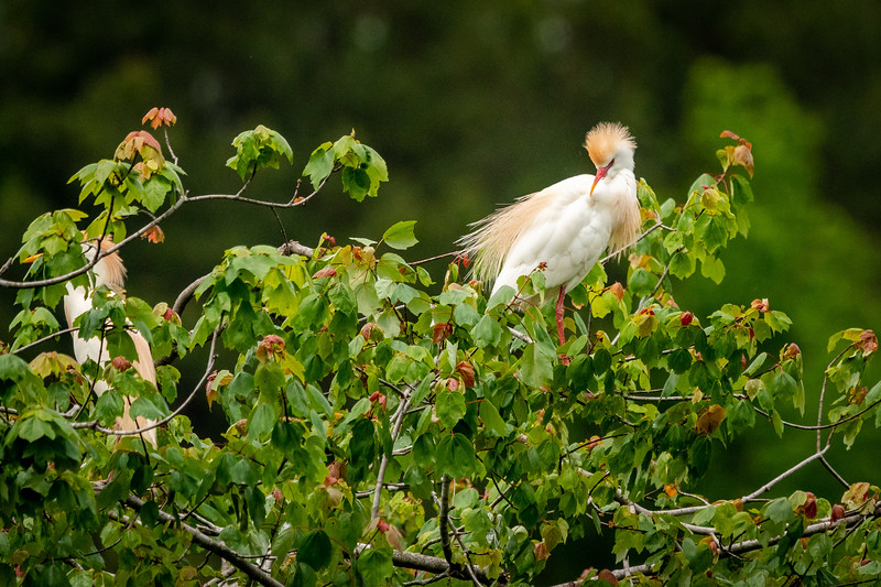 Cattle Egret Display