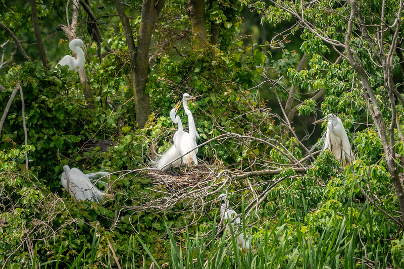Great Egret Cooperation