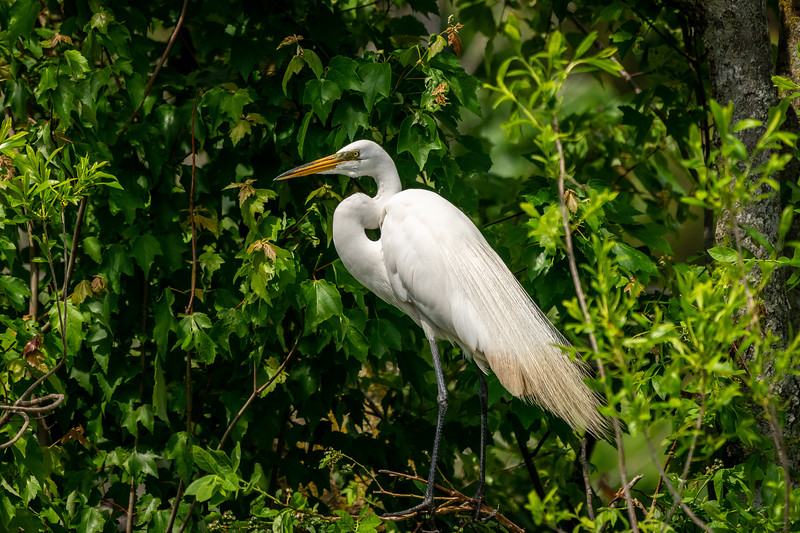 Great Egret Behavior