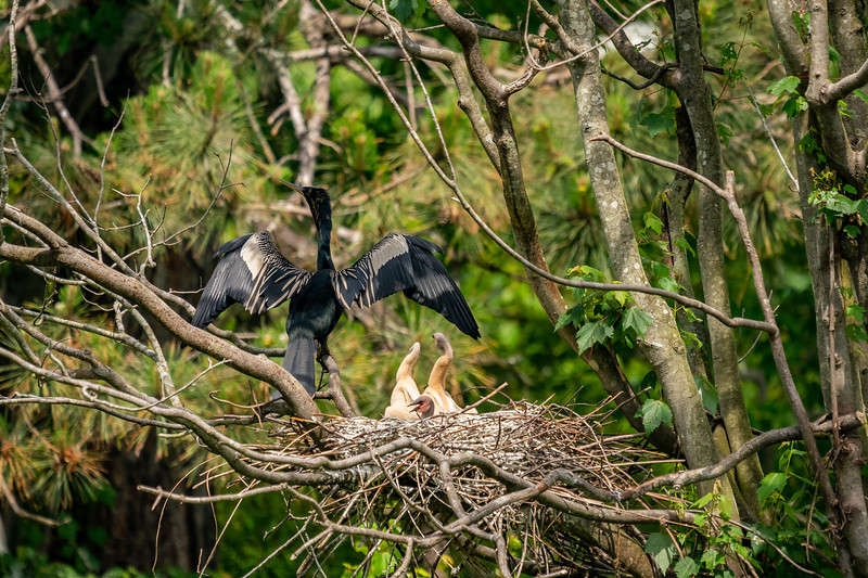 Female Anhinga and Chicks