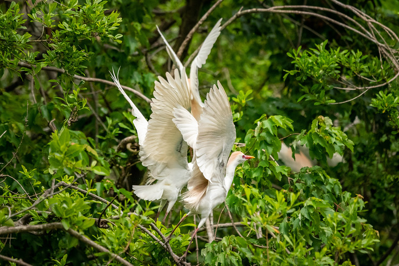Three Cattle Egrets