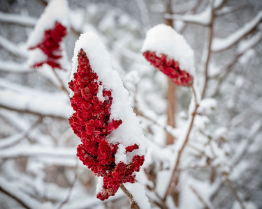 Crimson Sumac in a Winter coat